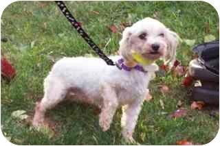 Maltese Dog for adoption in Oak Ridge, New Jersey - Finn- LAP DOG