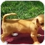 Photo 1 - Dachshund/Chihuahua Mix Puppy for adoption in El Cajon, California - little brown boy