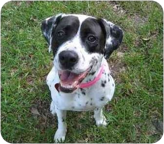 Pointer Mix Dog for adoption in Houston, Texas - Cricket