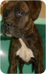 Boxer Mix Dog for adoption in Yuba City, California - **Gracie (URGENT!)