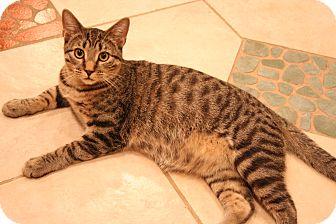 Domestic Shorthair Cat for adoption in Eagan, Minnesota - Mario