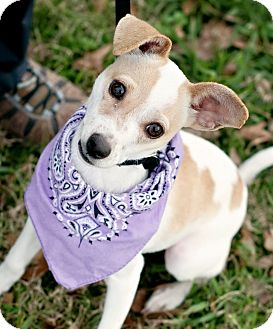 Jack Russell Terrier Mix Puppy for adoption in Portsmouth, Rhode Island - Tater Tot- w/video!