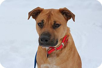 Labrador Retriever/Boxer Mix Dog for adoption in Hastings, New York - Mario