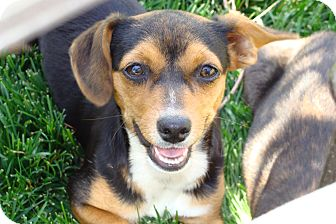 Terrier (Unknown Type, Small) Mix Puppy for adoption in Tustin, California - Rascal