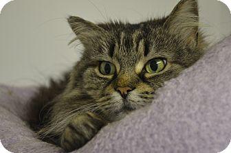 Domestic Longhair Cat for adoption in Muskegon, Michigan - JoJo