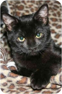 Domestic Shorthair Kitten for adoption in Arlington, Virginia - Jolie