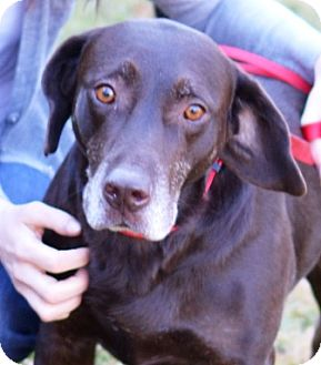 Labrador Retriever Dog for adoption in MILWAUKEE, Wisconsin - HERSHEY