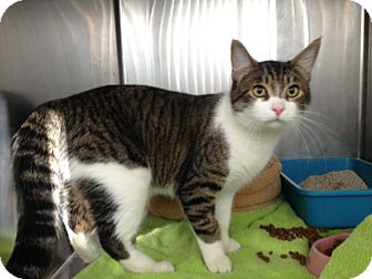 Domestic Shorthair Cat for adoption in Mission Viejo, California - Vince