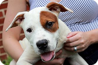Pointer/American Pit Bull Terrier Mix Puppy for adoption in Reisterstown, Maryland - Peanut