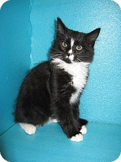 Domestic Mediumhair Cat for adoption in HILLSBORO, Oregon - KRIS KRINGLE