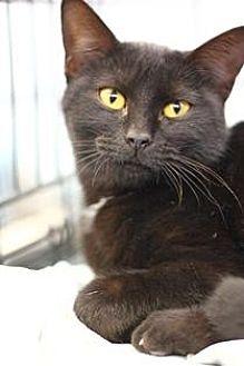 Domestic Shorthair Kitten for adoption in Yukon, Oklahoma - Miri