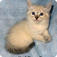Adopt A Pet :: Cuddles - Bentonville, AR