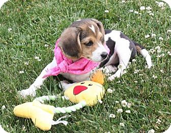 Beagle/Basset Hound Mix Puppy for adoption in Ripley, West Virginia - Vee