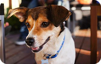 Beagle/Jack Russell Terrier Mix Dog for adoption in Studio City, California - Chester