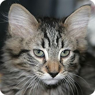 Maine Coon Kitten for adoption in Port Angeles, Washington - Clifford