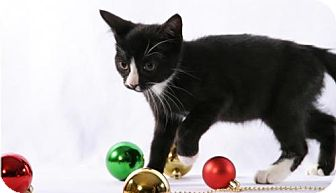 Domestic Shorthair Kitten for adoption in Walworth, New York - Fancy