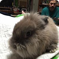Adopt A Pet :: Peter Rabbit - Rockville, MD