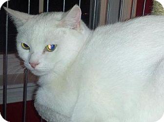 Domestic Shorthair Cat for adoption in Dahlgren, Virginia - Lumos
