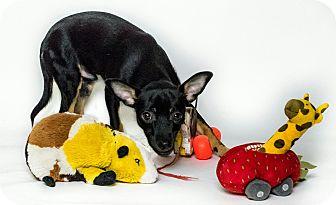 Miniature Pinscher Mix Puppy for adoption in Yelm, Washington - Conner