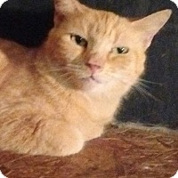 Domestic Shorthair Cat for adoption in Charlotte, North Carolina - Sundrop