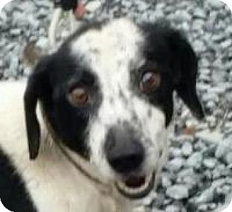 Hound (Unknown Type)/Terrier (Unknown Type, Small) Mix Dog for adoption in Franklin, West Virginia - Bandit- HOUSETRAINED 20 LBS.