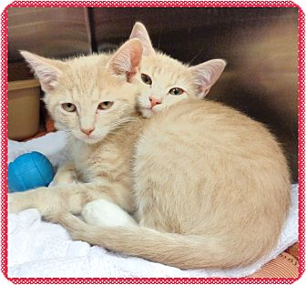 Domestic Shorthair Kitten for adoption in Marietta, Georgia - FANTA & COLA-available 12/2