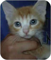Domestic Shorthair Kitten for adoption in West Warwick, Rhode Island - Dorito