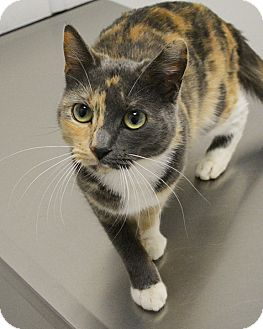 Calico Cat for adoption in Springfield, Illinois - Joy