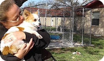 Papillon/Chihuahua Mix Dog for adoption in Brownsville, Texas - Percy