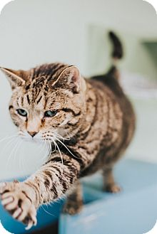 Domestic Shorthair Cat for adoption in Indianapolis, Indiana - Filberta