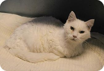 Domestic Mediumhair Cat for adoption in West Des Moines, Iowa - Mr Snow