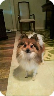 Pomeranian Dog for adoption in conroe, Texas - Dyson