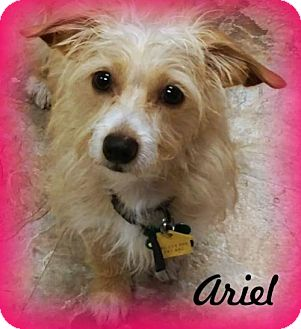 Dachshund Mix Dog for adoption in Anaheim Hills, California - Ariel