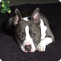 Staffordshire Bull Terrier Dog for adoption in Seattle, Washington - Casanova - Heartthrob Handsome