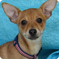 Chihuahua Mix Dog for adoption in Cuba, New York - Courtney Gabbey