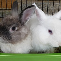 Adopt A Pet :: Chewbacca and Alfonzo - Alexandria, VA