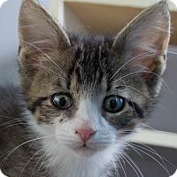 Adopt A Pet :: Gaston - Battle Creek, MI