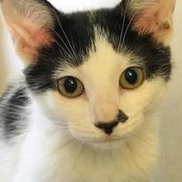 Adopt A Pet :: Rose' - Manchester, MO