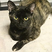 Domestic Shorthair Cat for adoption in Asheville, North Carolina - Thumbalina