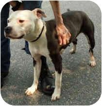 American Pit Bull Terrier Dog for adoption in Milton, Massachusetts - Emma