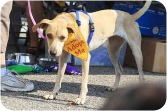 Whippet/Hound (Unknown Type) Mix Dog for adoption in Shelbyville, Kentucky - Precious