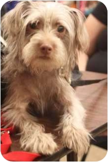 Terrier (Unknown Type, Small) Mix Dog for adoption in Yuba City, California - Ginger