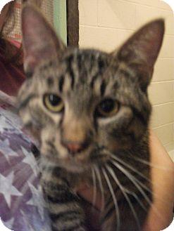 Domestic Shorthair Cat for adoption in Richmond, Missouri - Willie