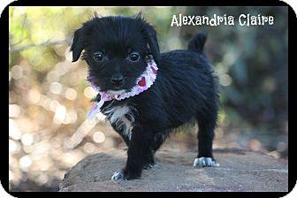 Yorkie, Yorkshire Terrier/Shih Tzu Mix Puppy for adoption in Glastonbury, Connecticut - Alexandria Claire