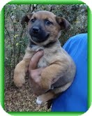 Feist/Shepherd (Unknown Type) Mix Puppy for adoption in Staunton, Virginia - Posey