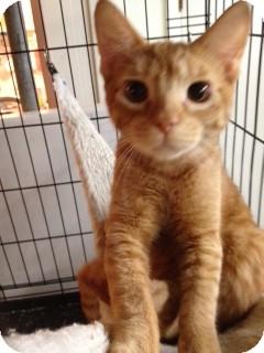 Domestic Shorthair Cat for adoption in Wenatchee, Washington - Rusty