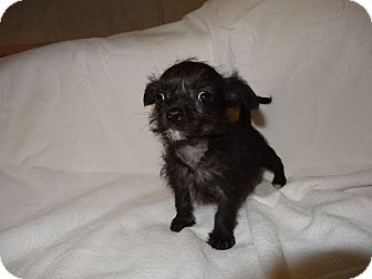 Terrier (Unknown Type, Small)/Chihuahua Mix Puppy for adoption in Syacuse, New York - Tinker Bell