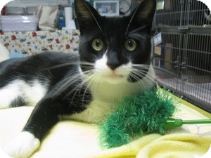 Domestic Shorthair Cat for adoption in Voorhees, New Jersey - Swift - PetSmart