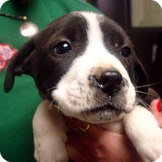 Labrador Retriever/American Staffordshire Terrier Mix Puppy for adoption in Greencastle, North Carolina - Prancer