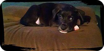 German Shepherd Dog Mix Puppy for adoption in Walker, Louisiana - Shaggy